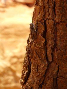 Chicharra no carreiro dos ocres de Rousillon (XMª Lema)